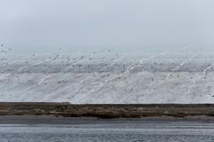 Seabird colony and glacier - stock photo