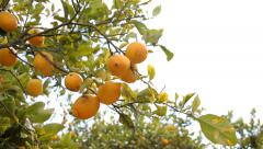 Lemon Orchard Stock Footage