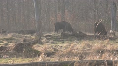 4k European Bisons eating in forest grassland cold season day Stock Footage