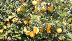 Branches With Ripe Lemons Stock Footage