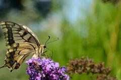 large swallowtail on lilac blossom large view - stock photo