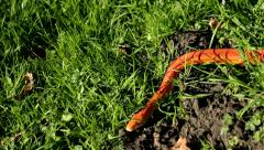 Albino Snake / Grass Snake - Ringelnatter Stock Footage