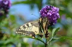 big beautiful swallowtail butterfly depends on a lilac flower in summer - stock photo