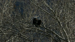 Stock Video Footage of Bald eagle flies from tree