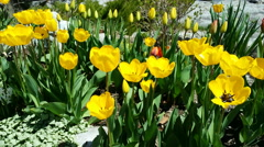 Yellow tulips in garden with breeze. Stock Footage
