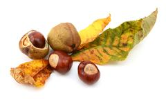 Fall foliage from a red horse chestnut with conkers - stock photo