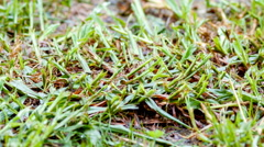 Young shoots of green grass with mud in rainy drizzle - fresh springtime growth Stock Footage