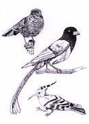 Stock Illustration of three kind of bird sketch painting illustration