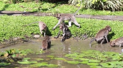 Video 1920x1080   Monkeys bathe and play in a decorative pond . Bali, Indonesia - stock footage