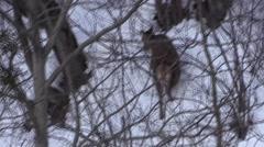 Female red deer wintertime bird's-eye view 2 Stock Footage