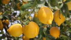 Lemon Tree With Ripe Lemons - stock footage
