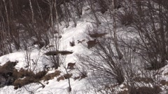 Female red deer & calf in wintertime - zoom out Stock Footage
