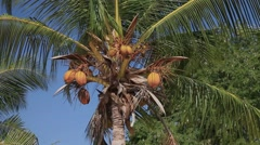 Panorama Coconut Palm Breeze Tropical Nature Sky Yellow Royal Stock Footage
