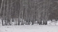 Birch Grove in winter Stock Footage