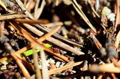 ants working in a anthill in summer - stock photo