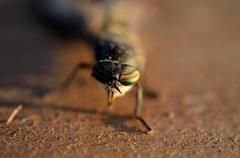 big horse fly close up - stock photo