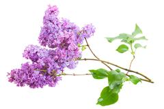 Brunch of lilac flowers isolated on white background Stock Photos
