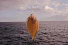 Whole Single Fresh Sole Fish Stock Photos