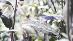 Sage, medicinal plant Stock Footage