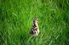 Cute eurasian curlew bird chicken walking in grass Stock Photos