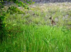 Eurasian curlew chicken wanders towards her parents after coming out from the Stock Photos