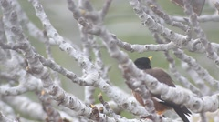 Yellow nose Bird on a fig tree  Stock Footage