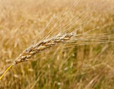Wheatfield with barley spike Stock Photos