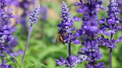 Beautiful blue Salvia flowers with small bee in the garden Stock Footage