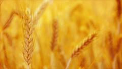 Golden Yellow Wheat Ears in Agricultural cultivated field Stock Footage