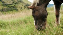Icelandic Horse Grazing Stock Footage