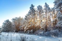 Stock Photo of Bright sun in the winter forest with trees covered with hoarfrost. Toned