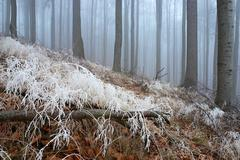 In frosty beechwood - stock photo