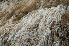 Hoarfrost on grass - stock photo