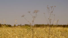 Outback country grass weed swaying in wind with background wheat field Stock Footage