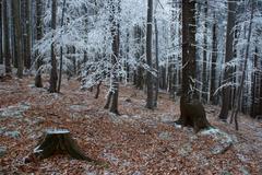 Frosty pine - wood - stock photo