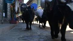 Lukla Nepal Dzo yaks walk through Lukla Solukhumbu mixture of yak and cow Stock Footage