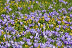 Close-up of crocus and winter aconite (Eranthis) in spring, Husum, Schlosspark, - stock photo