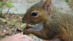 Squirrel Eating Nut Stock Footage