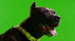 Real black pitbull dog barking. Green screen. Close up. Slow Motion saliva. Stock Footage