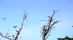 Ravens, flying together Stock Footage