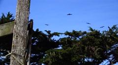 Ravens, stiff wind flying Stock Footage