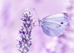 Gentle butterfly on lavender flower - stock photo