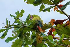 Great green macaw parrot bird Ara ambiguus Stock Photos