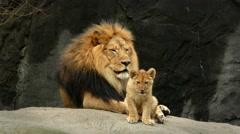 Lion, Cat, King, Cubs, In Fine Rain, 4K - stock footage