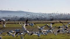 4K Migration Birds Skagit Valley Stock Footage