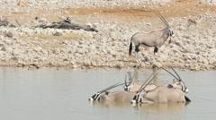 Antelope gemsbok drinking at the waterhole 4k Stock Footage