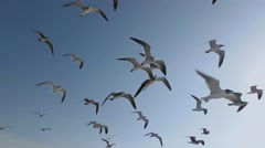 Seagulls And Birds Flying In Group On Blue Sky Super Slow Motion - stock footage