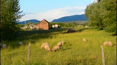 Bozeman Montana scenic view of sheep and barn in beautiful green fields of Stock Footage