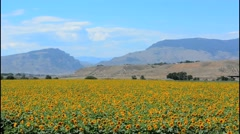Cody Wyoming sunflower fields outside city with scenic mountains in background Stock Footage