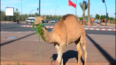 Marrakech Morocco close up of camel eating grass on street near the Mosque Stock Footage